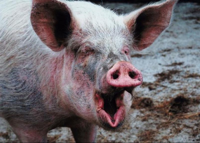 В Смоленской области может исчезнуть свиноводство?