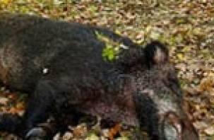 В Смоленской области зарегистрирован очередной случай африканской чумы свиней