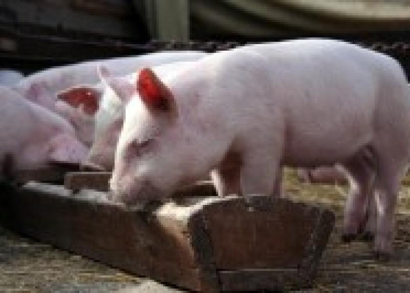 Поголовье свиней компании «Смолмясо» будет ликвидировано