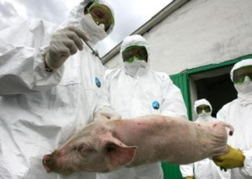 В четырех районах Смоленской области введен карантин по африканской чуме свиней