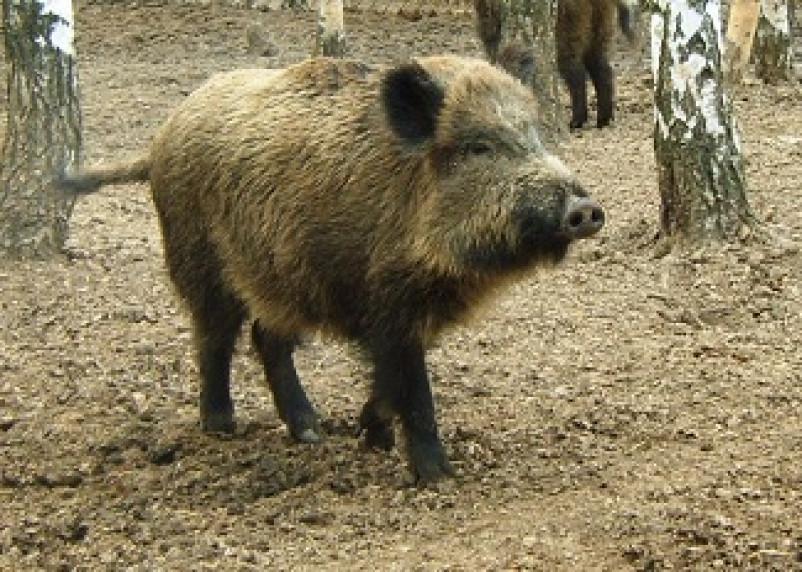 На Смоленщине снова обнаружены очаги африканской чумы свиней