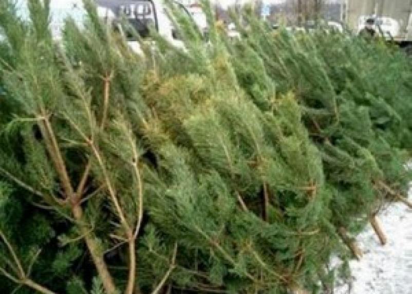 С 23 декабря в Смоленске начали работу елочные базары