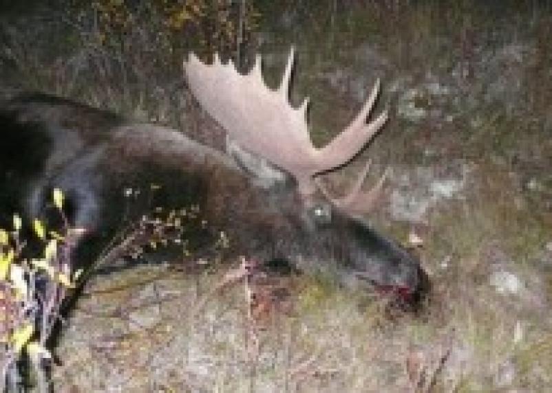В лесу Починковского района произошел незаконный отстрел лосихи