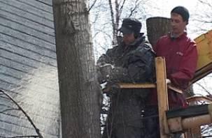 В Смоленске снесли 20 аварийных тополей