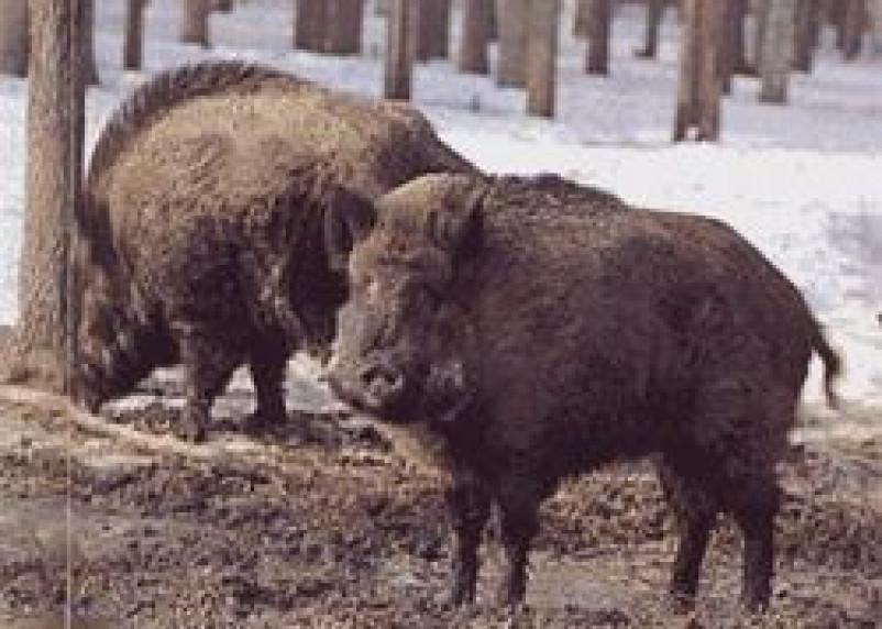 Африканской чумой свиней поражена вся Смоленская область