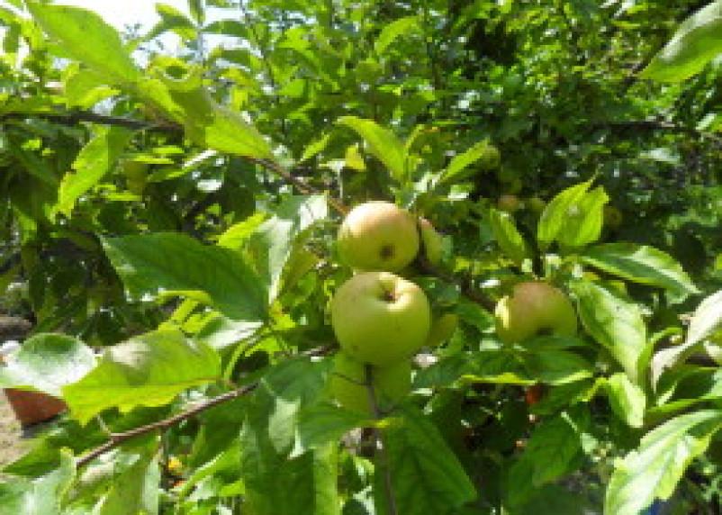 39 тонн яблок возвращено в Беларусь