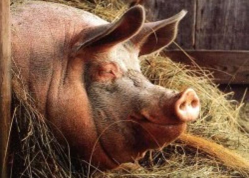 Стабнинское свиноводческое предприятие подвергает своих свиней риску опасных заболеваний