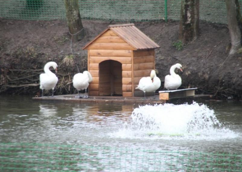 В пруд Лопатинского сада выпустили 6 лебедей