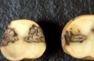 Семенной картофель из Польши оказался гнилым