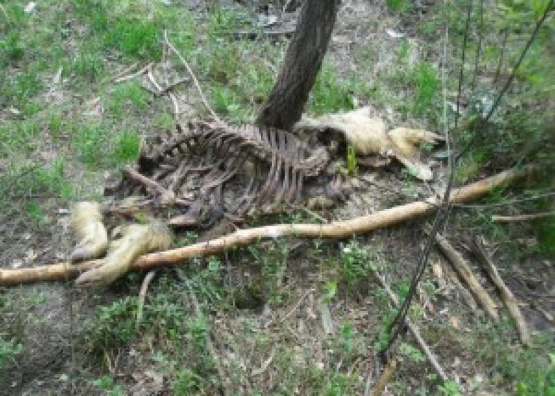 В Угранском районе расследуется падеж диких кабанов
