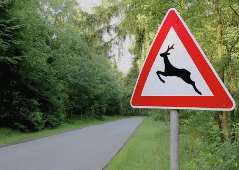В Смоленской области мотоциклист столкнулся с лосем