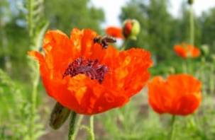 30-летний новодугинец выращивал у себя на огороде маковую соломку