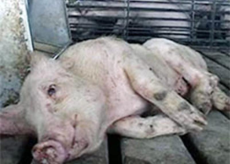 На Смоленщине продолжает распространяться африканская чума свиней