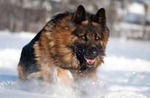 Полицейский пес Граф спас от самоубийства пожилую жительницу Гнездова