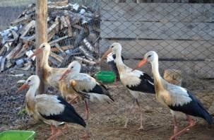 «Смоленское Поозерье» отправило 5 аистов на реабилитацию в Калугу