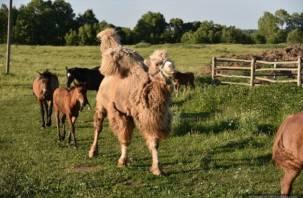 «Лошади отказались идти без Васи на прогулку». Драма вокруг сбитого верблюда продолжается