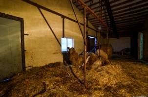 Верблюда Васю, попавшего в ДТП, прооперировали