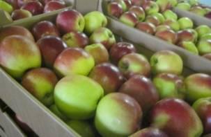 «Похоронили». На Смоленщине утилизировали более 19 тонн яблок