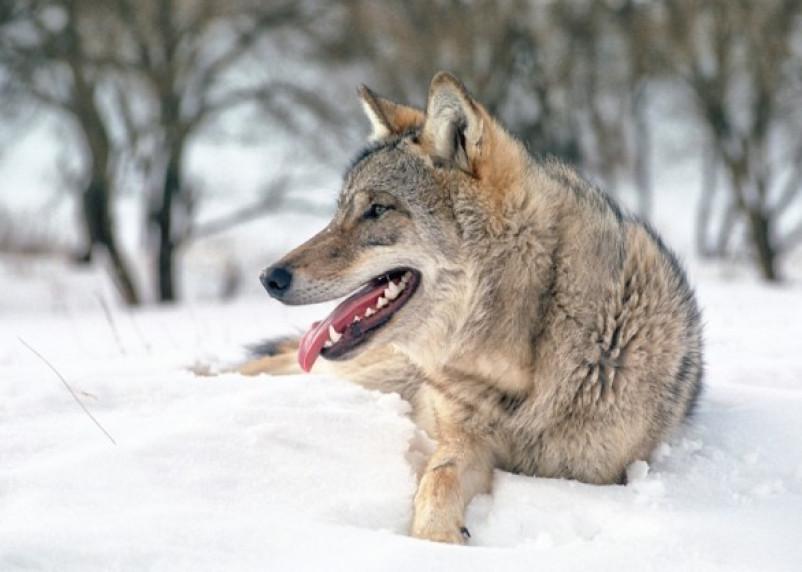 В Смоленском Поозерье стало меньше белок и волков