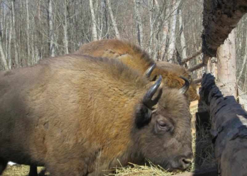 В Смоленском Поозерье появились первые самки зубра