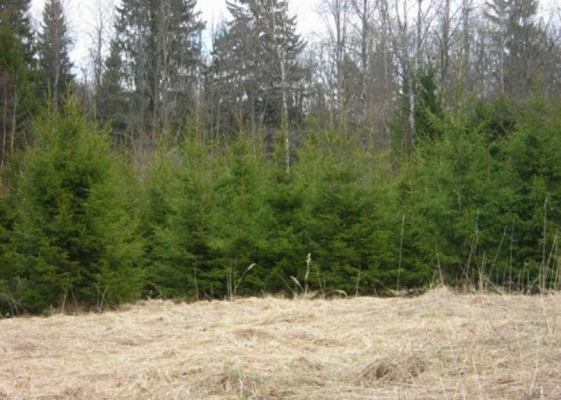 В Смоленской области не хватает 3,8 млн елок