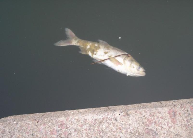 В пруду Лопатинского сада плавают дохлые толстолобики