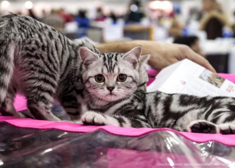 В Смоленске состоялась выставка кошек