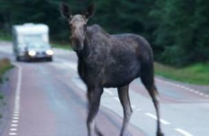 Лоси на смоленских дорогах представляют смертельную опасность для водителей