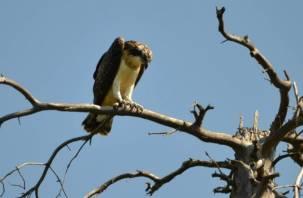 В Смоленском Поозерье заселились редкие хищные птицы