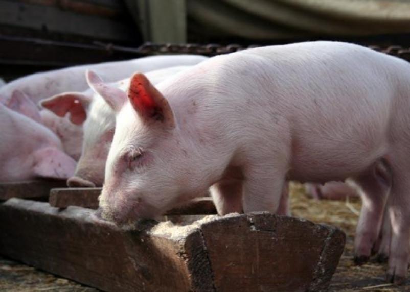 Смолянам запретили кормить свиней отдохами