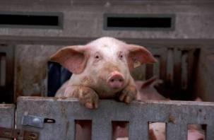 В Калининграде отказались от смоленской свинины