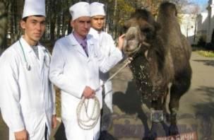 В Белоруссии лечат смоленского верблюда
