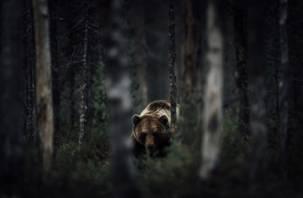 На окраинах Смоленска «гуляют» бурые медведи