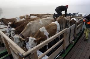 В Смоленск не пустили 33 белорусских коровы