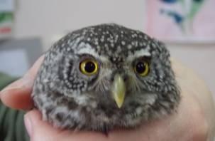 В Смоленском Поозерье спасли жизнь маленькой сове