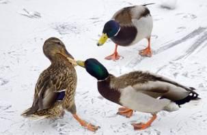 Чем грозит излишняя забота главы Смоленска об утках