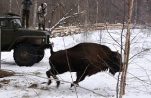 Национальный парк «Смоленское Поозерье» пополнился белорусскими зубрами