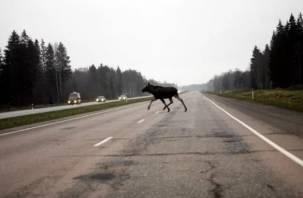 В Смоленской области ищут свидетелей аварии с опрокинувшимся из-за лося автобусом