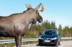 Смолян предупреждают о появлении лосей на дорогах