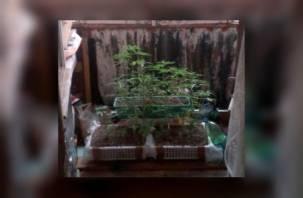 Выращивал на огороде. Смолянин лишится свободы за сбыт наркотиков