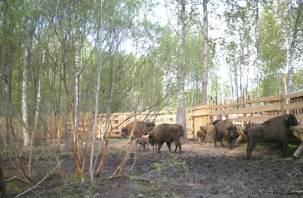 В Смоленском Поозерье родились зубрята-двойняшки (видео)