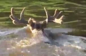 В «Смоленском Поозерье» лось открыл купальный сезон (видео)