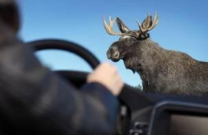 В Гагаринском районе водитель иномарки сбил лося