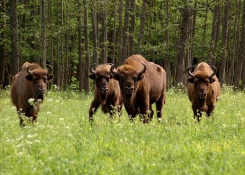 «Зубры нашлись!»: животных все-таки отправят в «Смоленское Поозерье»