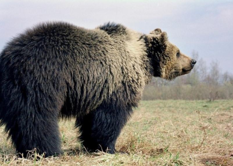 «Нашествие-2017»: смоленские медведи держат в страхе Беларусь