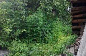 В Рославльском районе нашли плантацию конопли
