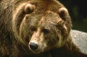 Подробности нападения медведя на смоленского грибника