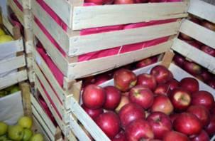 Тонны «подозрительных» яблок не пропустили через Смоленск
