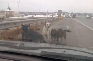 В Смоленской области водители рискуют жизнью из-за стаи собак на трассе М1