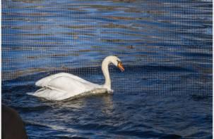 В Смоленске в «Лопатинский сад» прилетели лебеди